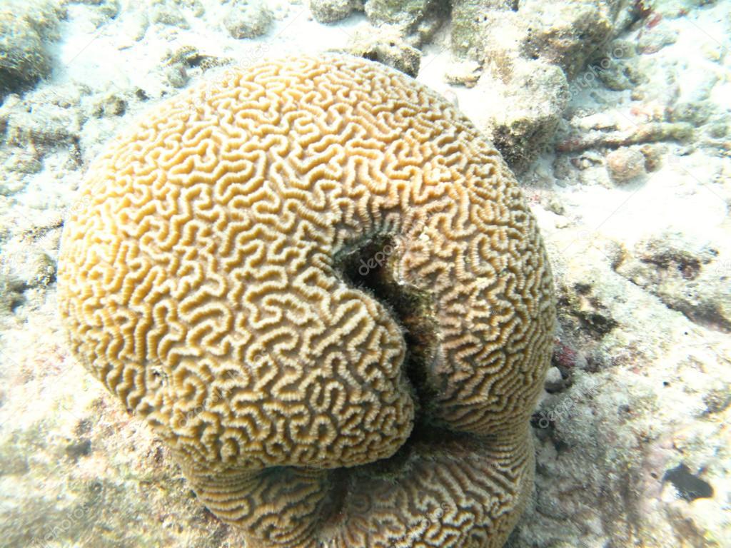 Hard sea corals marine life in Indian ocean Maldives