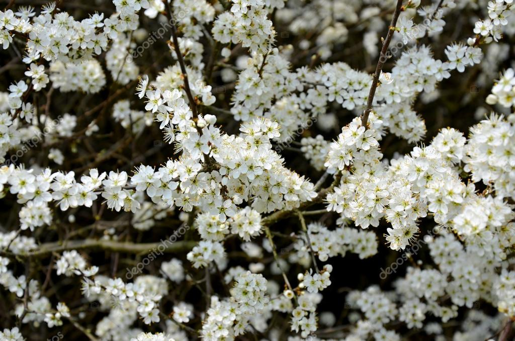 Blooming blackthorn bush with white flowers in spring czech republic blooming blackthorn bush with white flowers in spring czech republic stock photo mightylinksfo