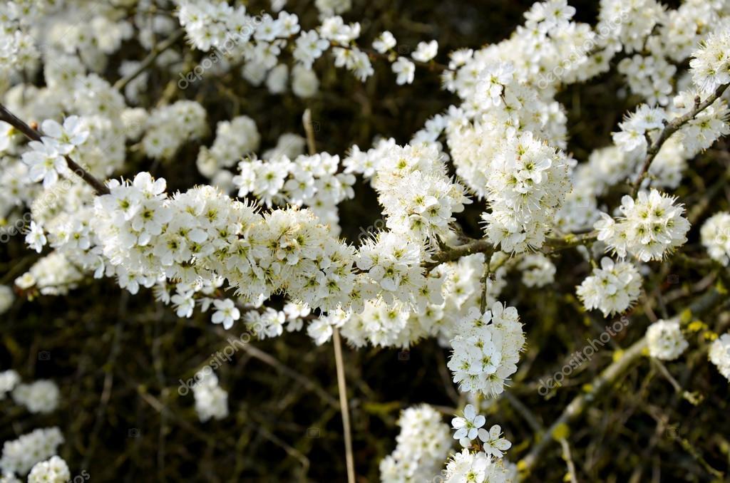 blühende Blackthorn Busch mit weißen Blüten im Frühling Tschechien ...