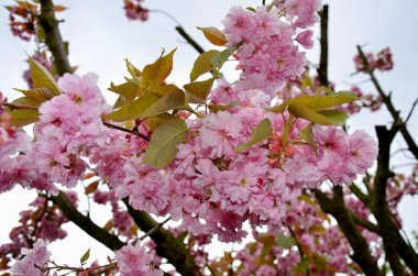 Blooming sakura tree with pink flowers in spring Czech Republic
