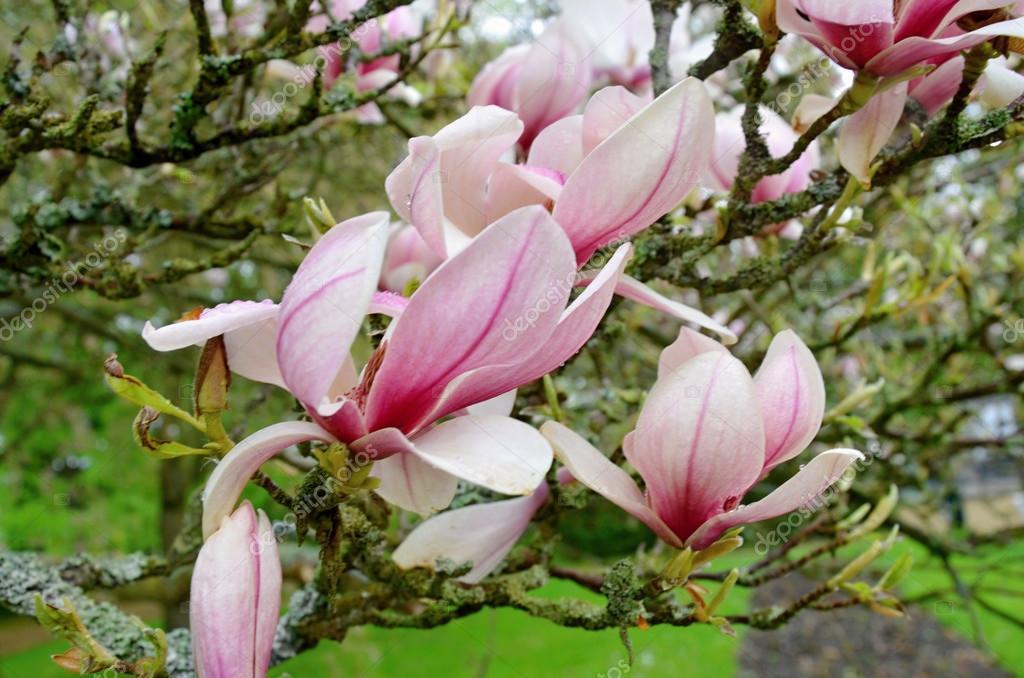 Flor magnolia soulangiana de rbol con flores rosas en - Arbol de rosas ...