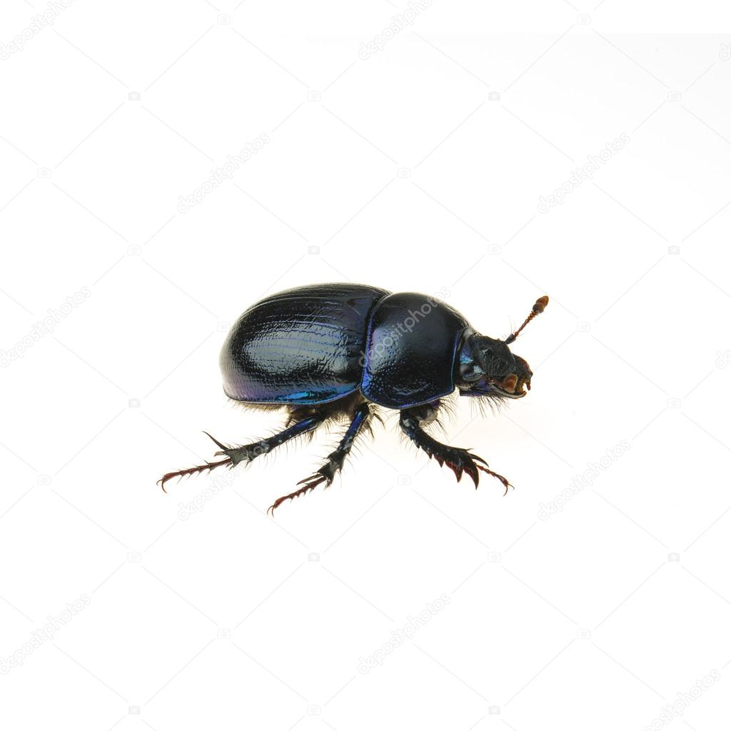 Dung beetle scarab beetle lucky black beetle insect pest control pests woodbeetle