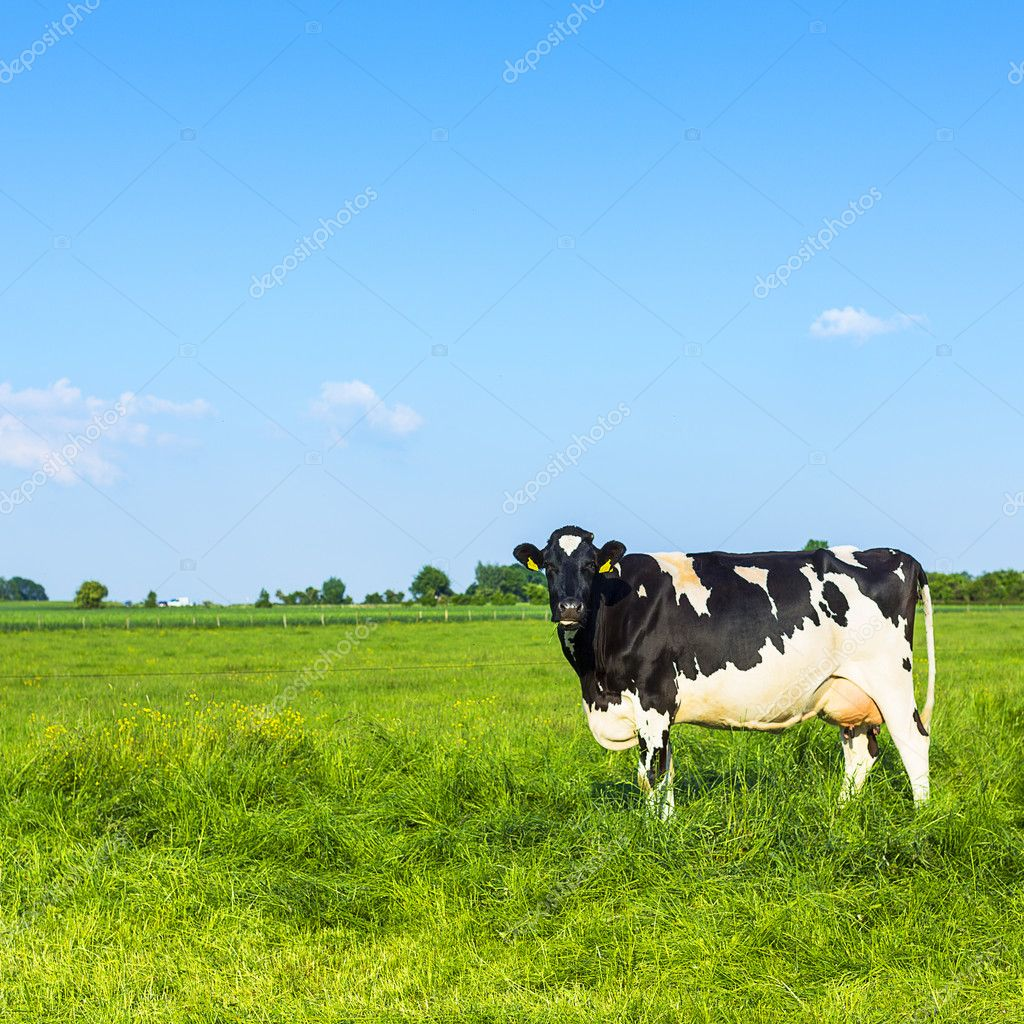 Grimace cow milk dairy cattle farm meadow black nature landscape grass field