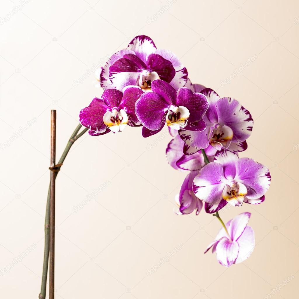 Rosa Orchidee Blume Flora Kosmetik Spa Zimmer Blumen Dekoration