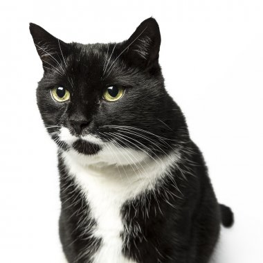 Cat isolated black exempted domestic cat pet kitty kitty meow looking whisker faithful