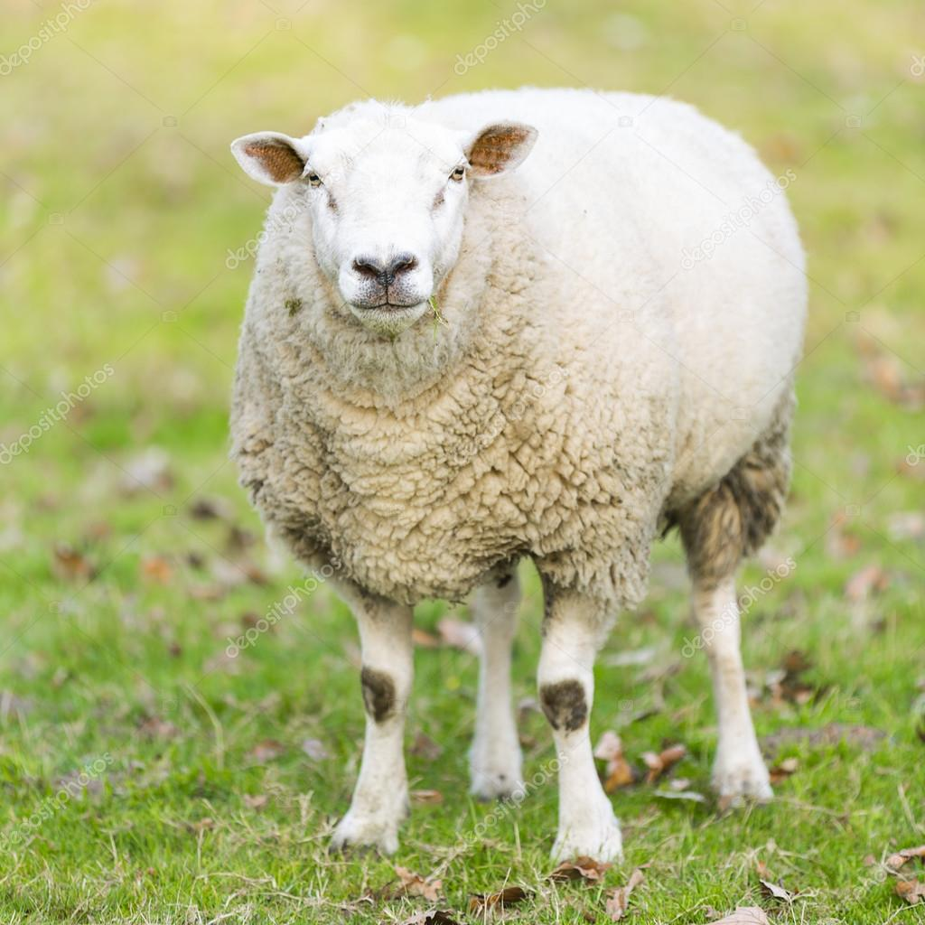 sheep wool sheep lamb farming herd pasture mutton farm animal farm