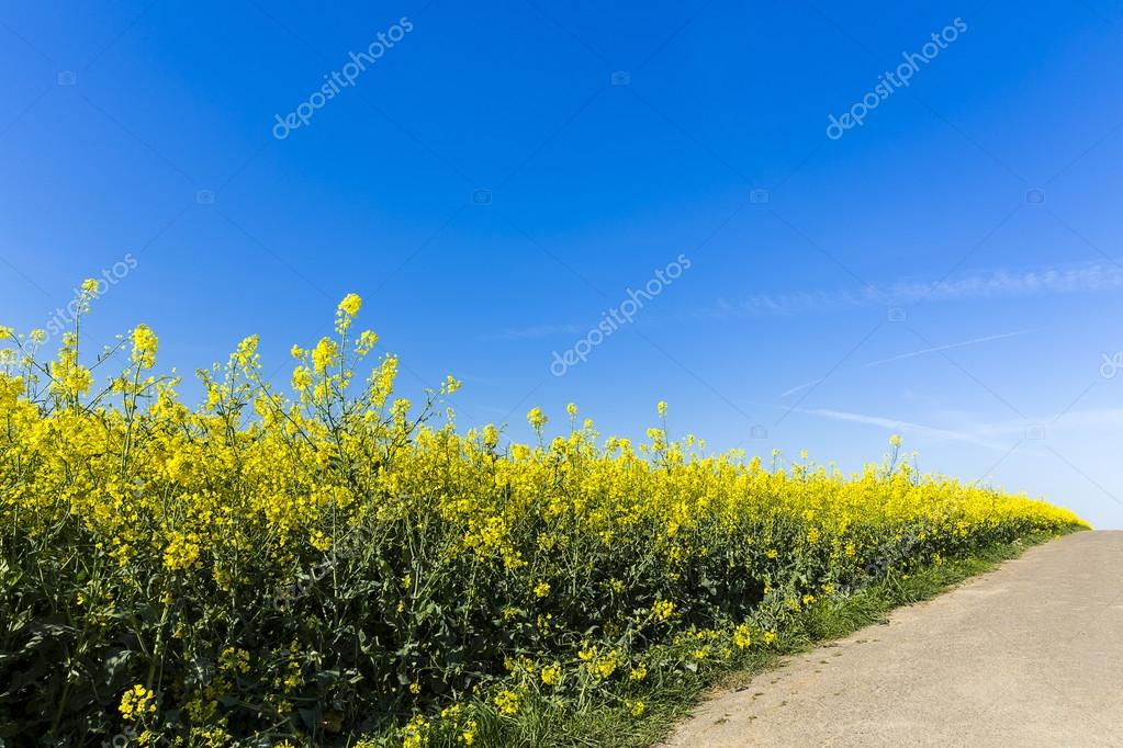 Rapefield rapeseed oil farming energief dirt track road oil spring yellow ecologically biodiesel