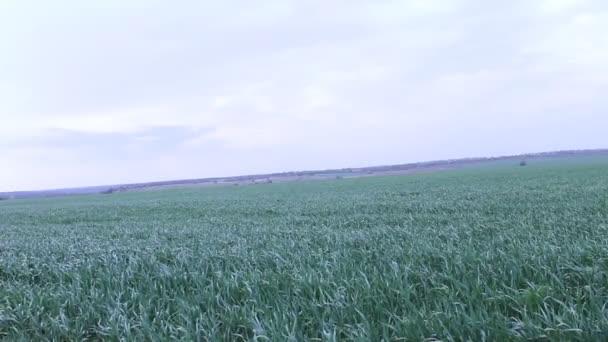 a búzamező szél