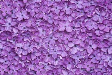 violet lilac flower background