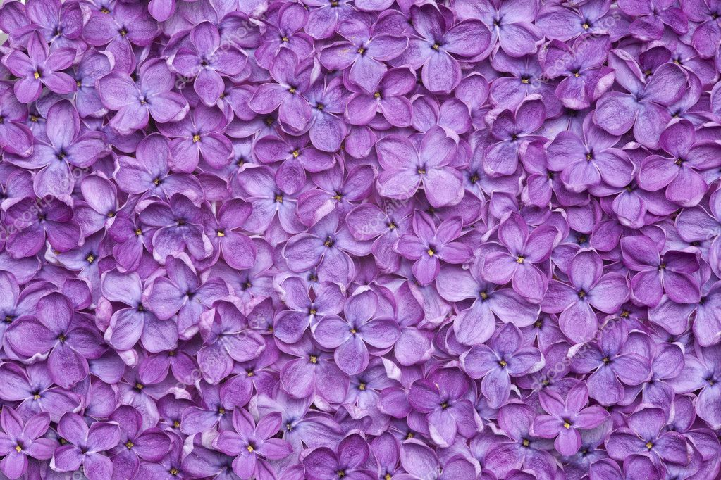 violet lilac flower background