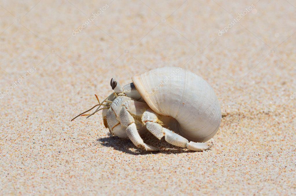 Arena para cangrejo ermitaño | cangrejo ermitaño sobre arena húmeda ...