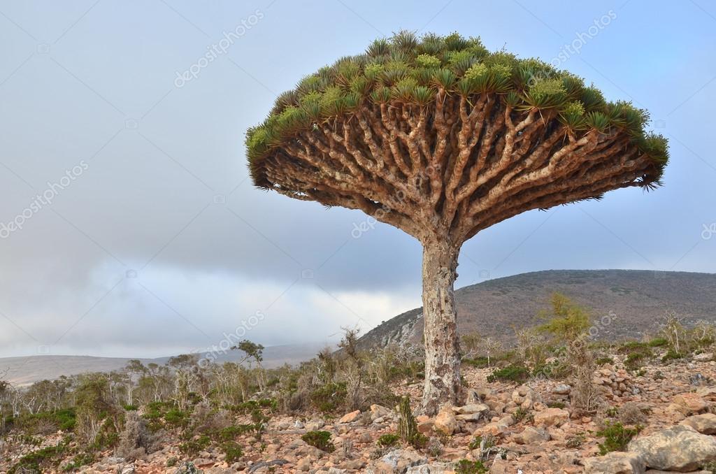 Yemen, Socotra, dragon tree on Diksam plateau