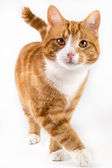 Photo red cat, walking towards camera, isolated in white