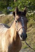 Fotografie Arabský kůň