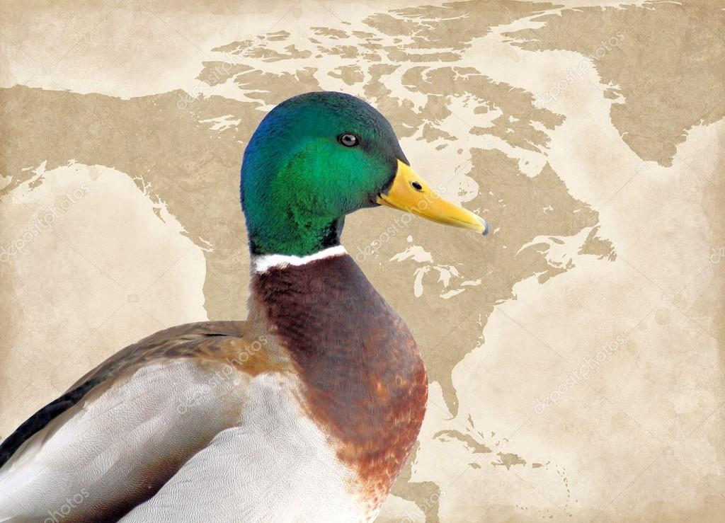 Map Of America Looks Like A Duck.Mallard Duck Male Map Of North America Background Stock Photo