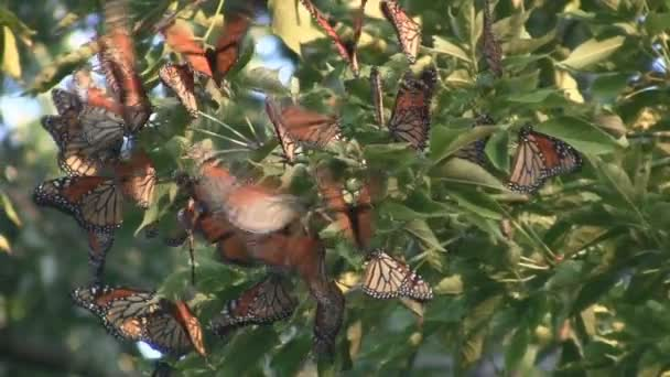 Monarch Butterfly Migration Cluster