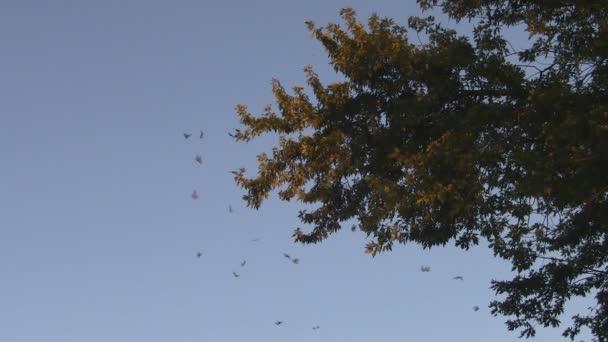 Monarch Butterfly migráció kolónia