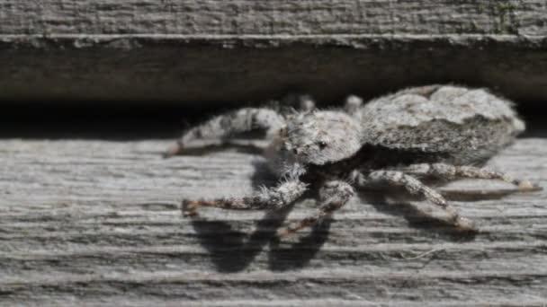 Ugrás pók néző bal, gyorsan, hogy szembenézzen jobbra forog