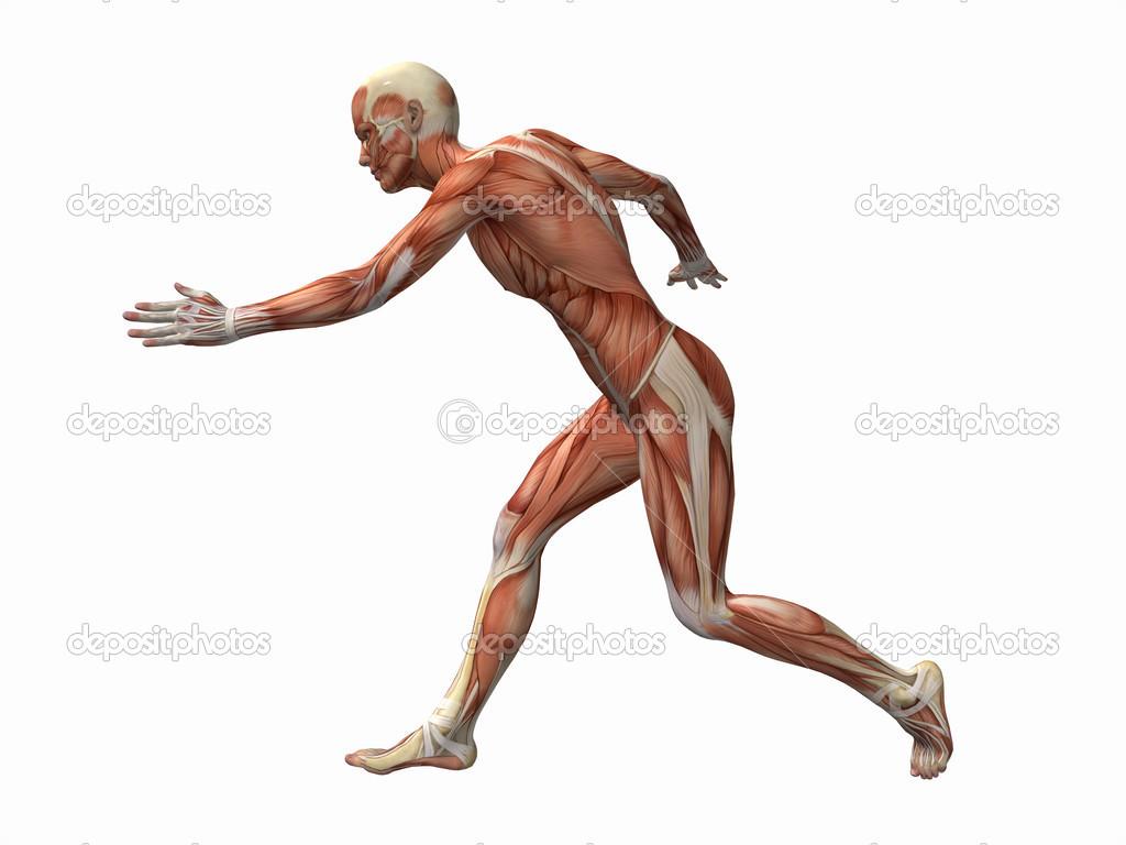 Muscle man , male Body Anatomy — Stock Photo © vectorguru #34415045