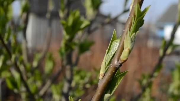 střemchová květy na jaře