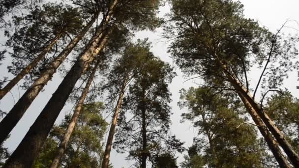 borovice proti obloze