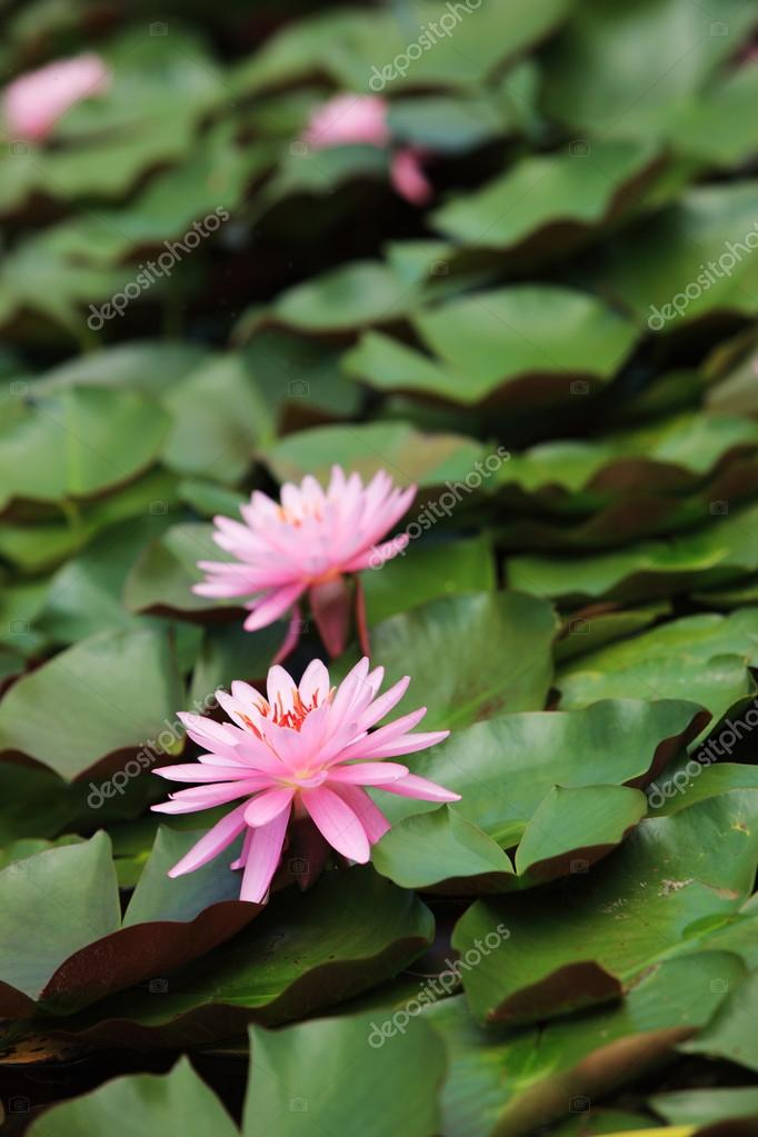 Lily Pads And Lotus Flower Stock Photo Stokkete 13866526