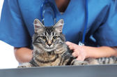 Photo Veterinary caring of a cute cat