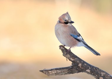 Jay bird on branch