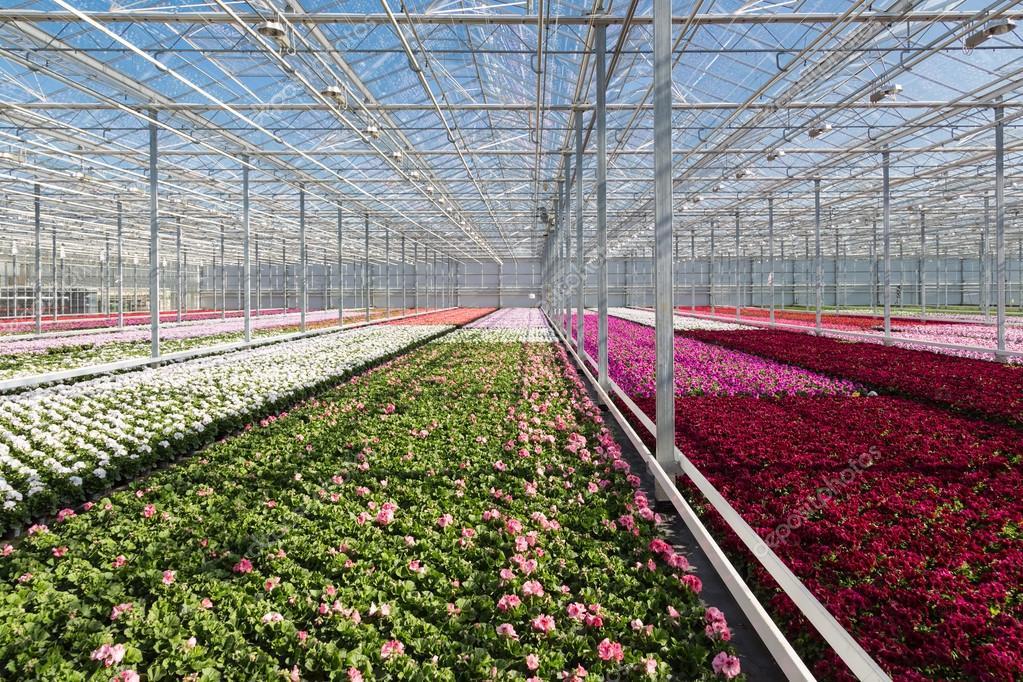 Purple flowers in a Dutch greenhouse