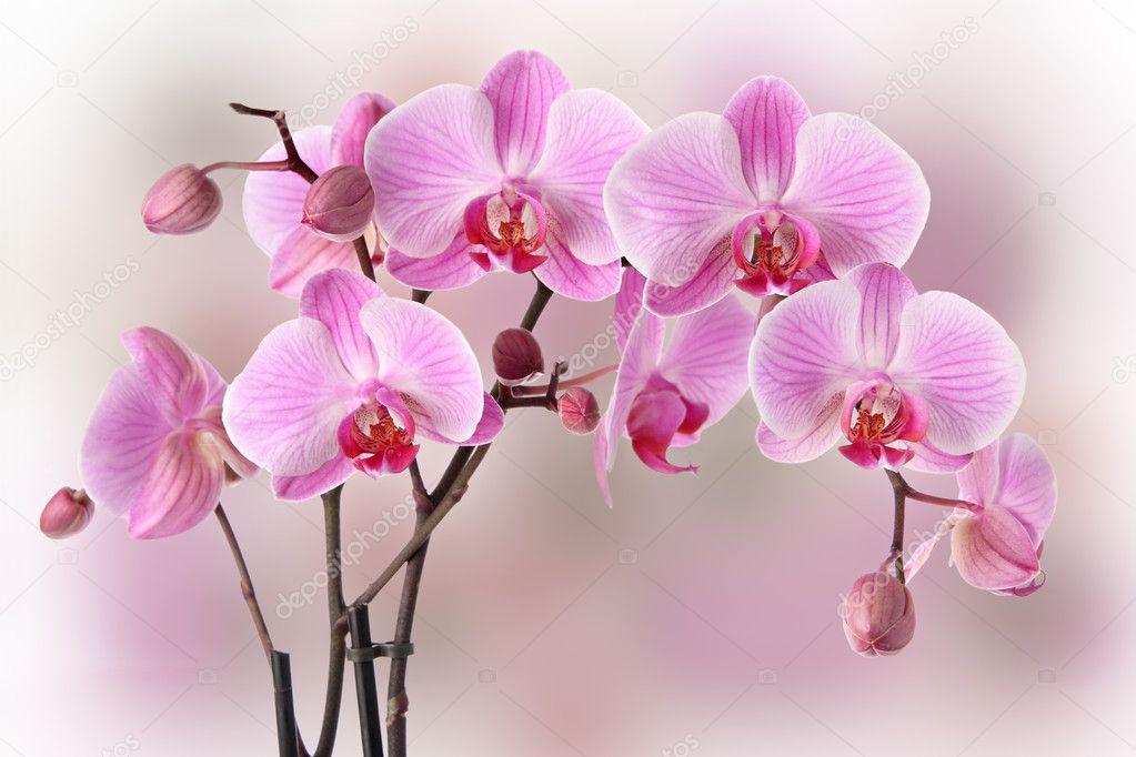 Pink orchids design