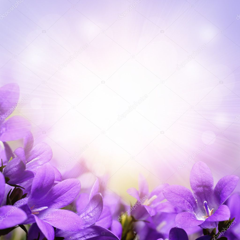 Purple campanula spring flowers background