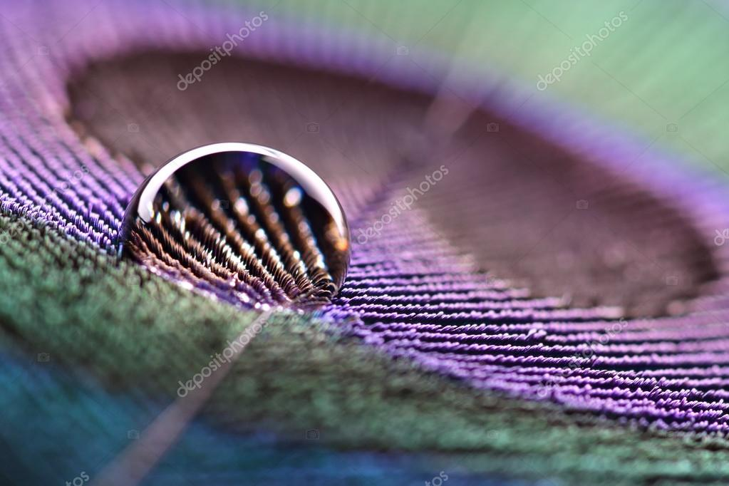 Waterdrop on peacock feather
