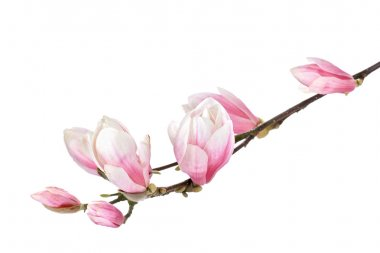 Magnolia flower branch on a white background
