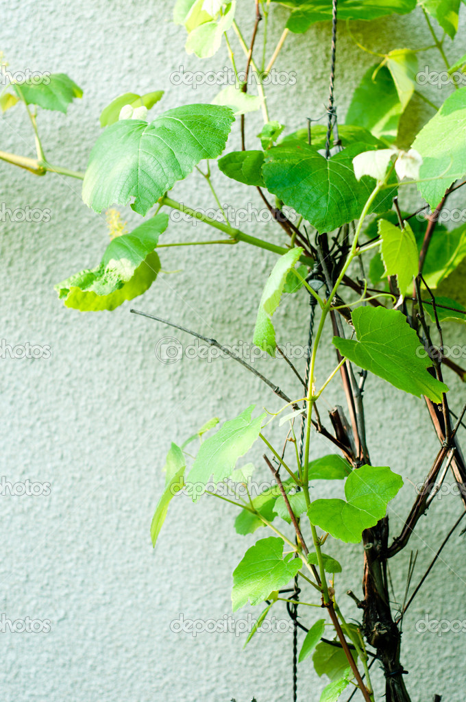Grape leaves on vintage background