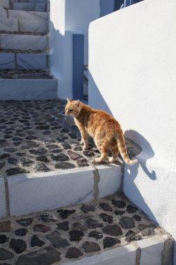 Domestic cat on Satorini island