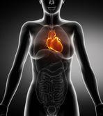 Fotografia Anatomia del cuore femminile con vista a raggi x coronarica