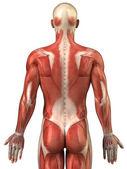 muž zpět svalový systém zadní pohled