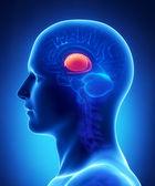 anatomie bazálních ganglií mozku - průřez