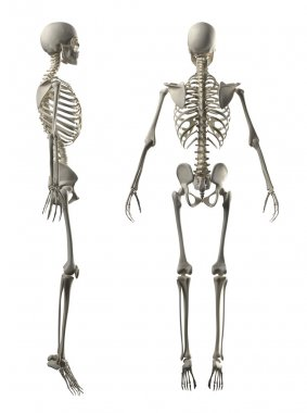 Male Full Skeleton Side and Back view