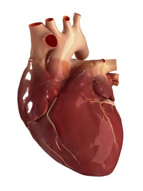 Heart anterior view isolated
