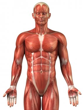Man muscular system anatomy anterior view