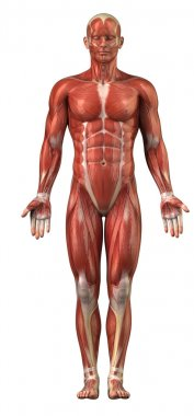 Anatomy of man muscular system - anterior view