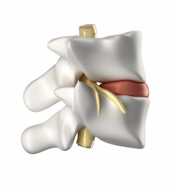 Vertebra, intervertebral disc and spinal cord