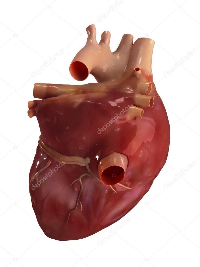 Anatomía del corazón humano — Foto de stock © CLIPAREA #13280523