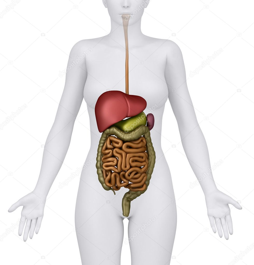 Anatomy Of The Female Digestive System Organs Anerior View Stock