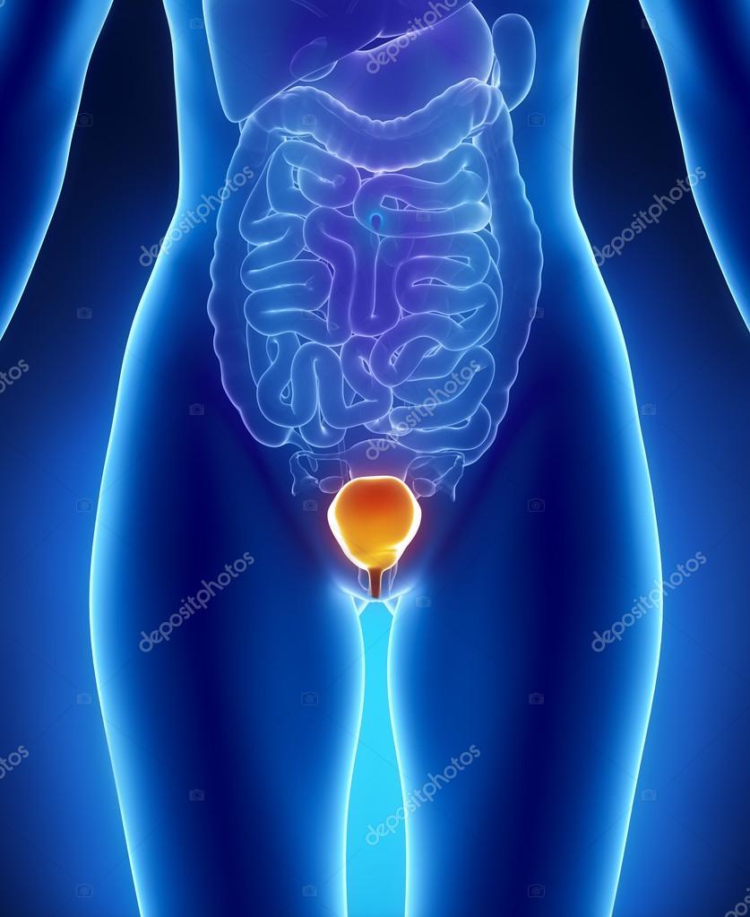 weibliche Blase Anatomie anterior Röntgen-Ansicht — Stockfoto ...