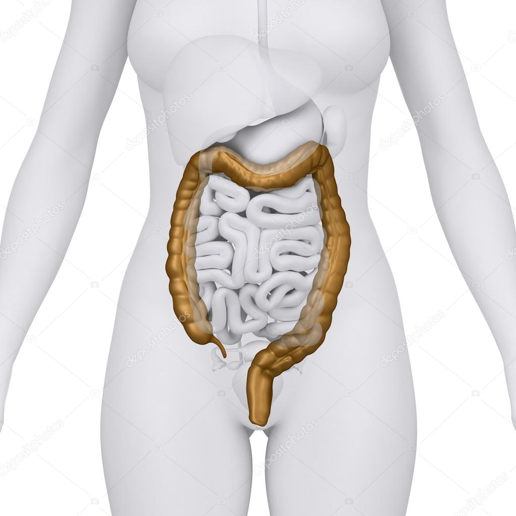 Female Colon With Abdominal Organs Arterior View Stock Photo
