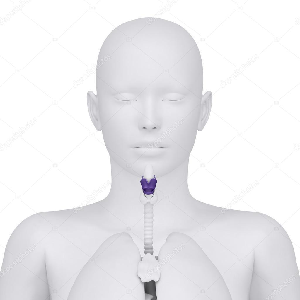 Anatomía de la laringe femenina - vista anterior — Fotos de Stock ...