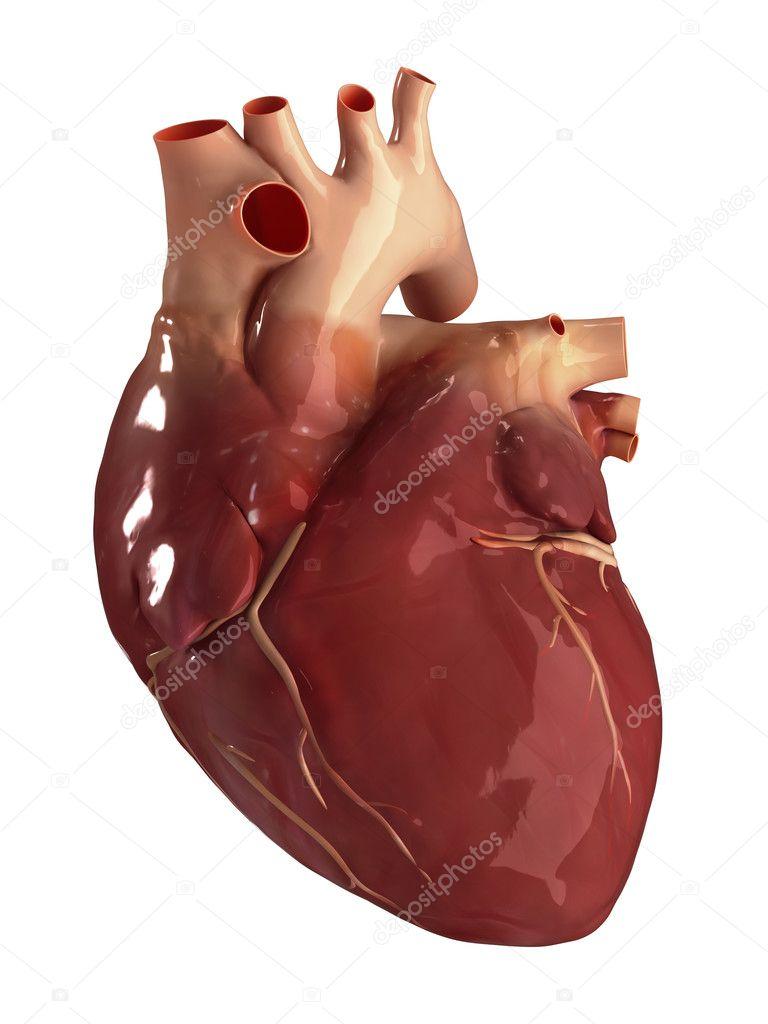 Herz anterior Aussicht isoliert — Stockfoto © CLIPAREA #13280663