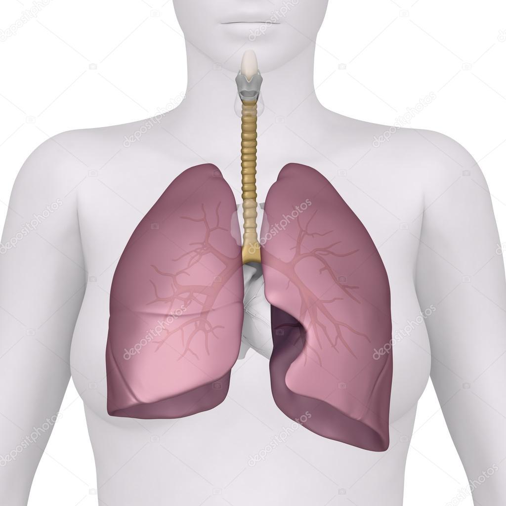 Anatomía de la vista anterior del sistema respiratorio femenino ...